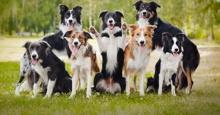 10 Reasons Why Border Collies Are The Best Dogs Dog Breeds