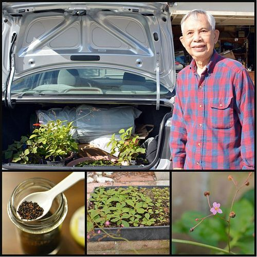 My dad wants to show you how to grow ginseng he sent instructions my dad wants to show you how to grow ginseng he sent instructions and a few seeds solutioingenieria Images