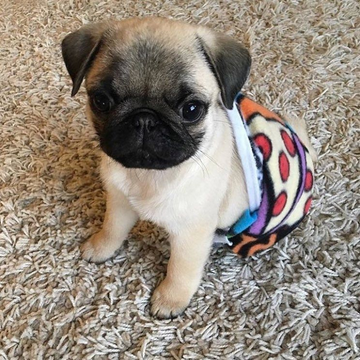 How Do You Guy Like My New Outfit Baby Pugs Baby Dogs Pug Dog