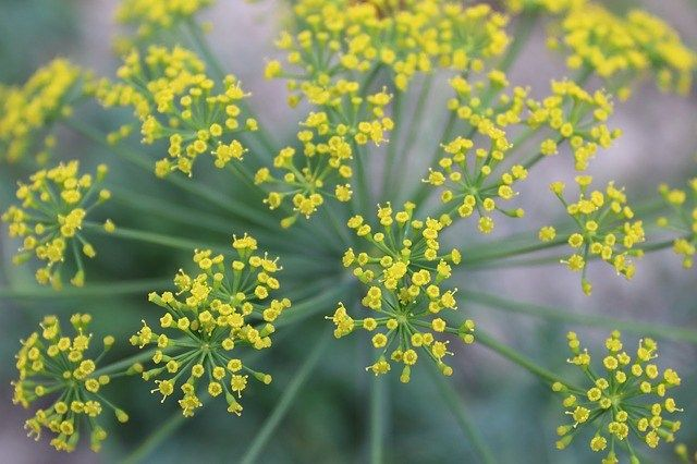 How To Grow Dill How To Use Dill In Your Home And Garden 400 x 300
