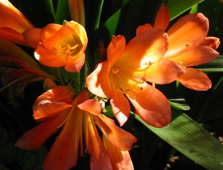 Glowing Clivias These South African Plants Have Beautiful Orange Flowers But Are Very Slow Growing