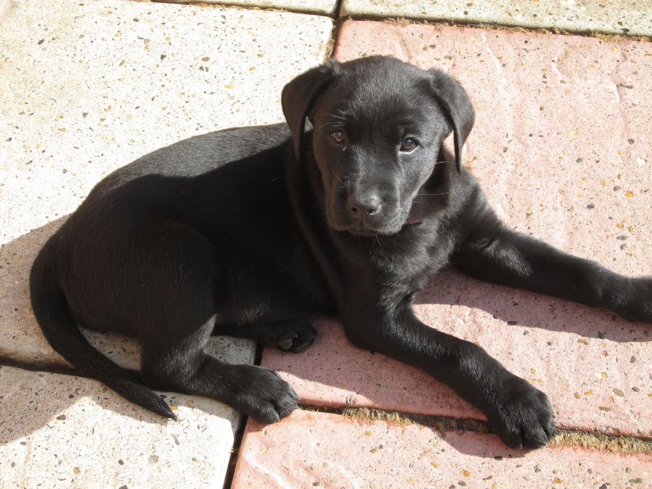 Labrador And Rottweiler Cross Rottweiler Mix Puppies Rottweiler Mix Puppy Dog Pictures