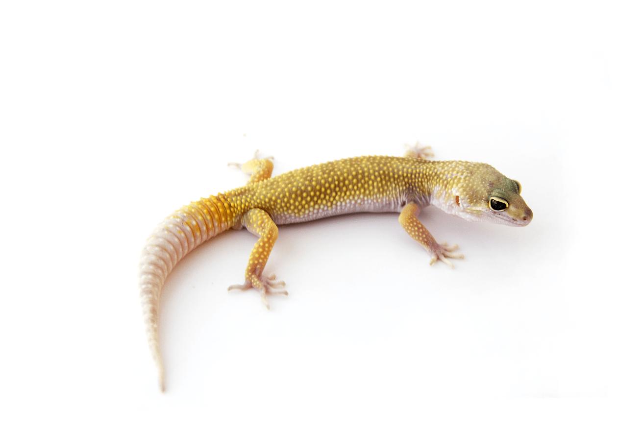 Leucistic Leopard Gecko Morph Picture Leopard Gecko Leopard Gecko Morphs Gecko