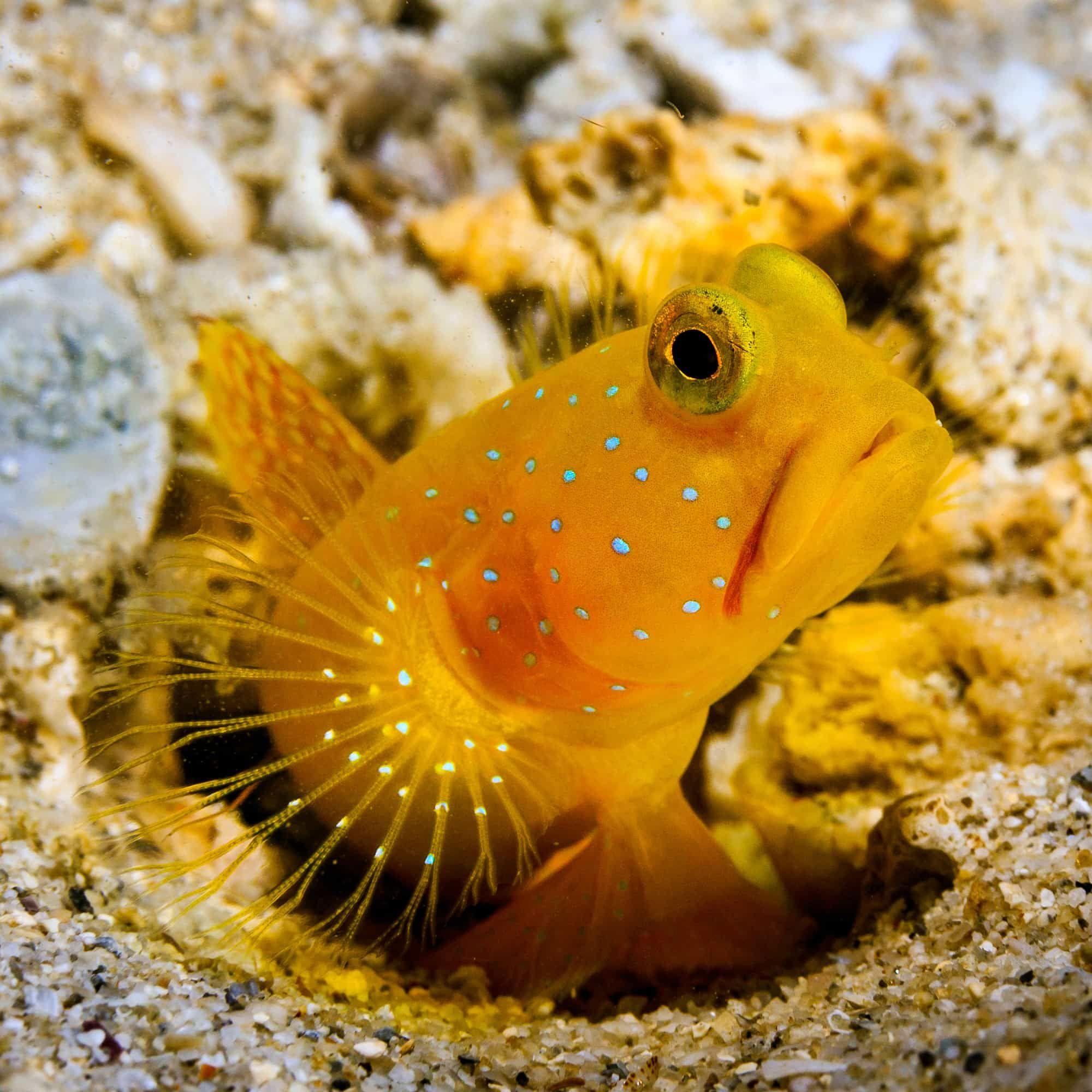 Yellow Watchman Goby Cryptocentrus Cinctus Yellow Fish Fish Fish Fin