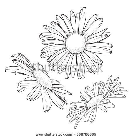 Vector Images Illustrations And Cliparts Isolated Daisy Chamomile Close Up View Collection Set Loves Me Love Flower Drawing Sunflower Drawing Flower Outline