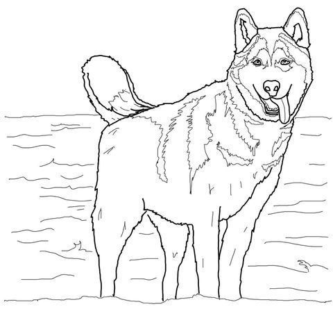 Husky Coloring Pages Siberian huskies - new snow dogs coloring pages
