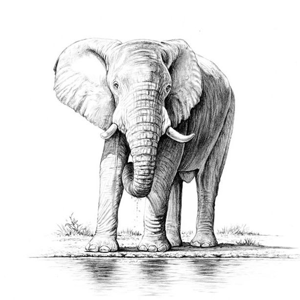 Pencil Drawings Of Elephants Tumblr The gallery for -->...