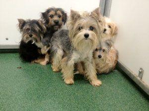 Akc Yorkie Puppies For Sale Yorkie Terrier Yorkie Puppy Yorkie