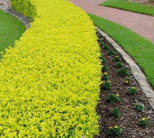 Cerco duranta golden decoracion hogar cercos vivos - Nombres de arbustos ...