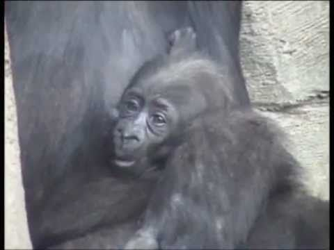 Bebé gorila (8 semanas de vida) | Baby gorilla (8 weeks)