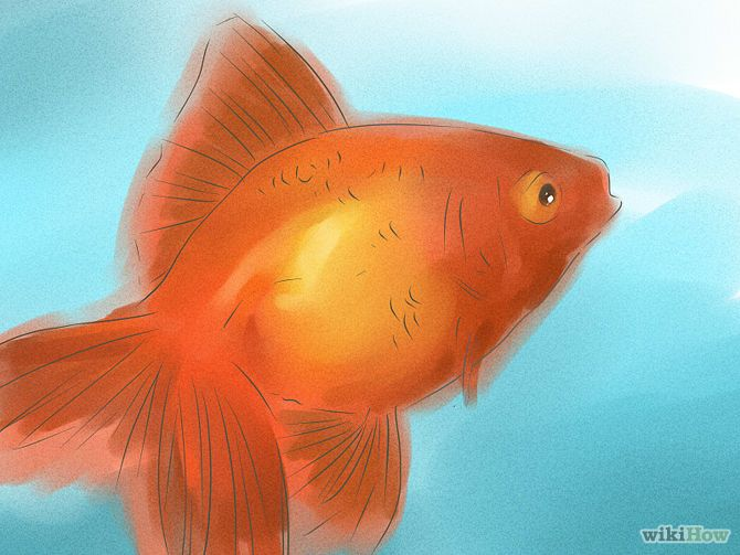 Tell if Your Goldfish Is a Male or Female Step 1 Version 2.jpg