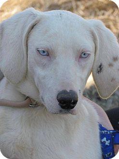 Richmond Va Dalmatian Mix Meet Ludwig A Dog For Adoption Dalmatian Mix Dog Adoption Pets
