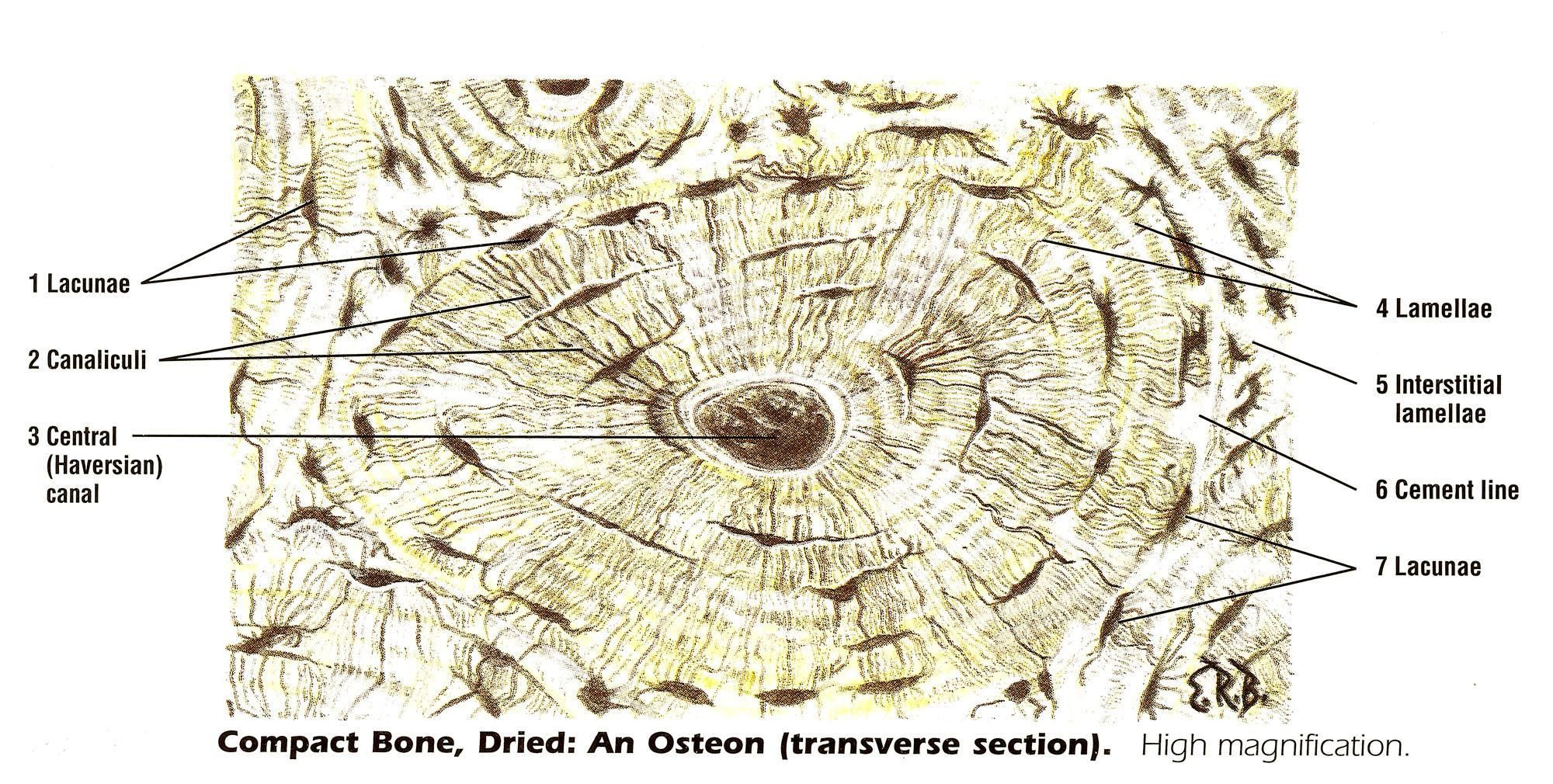 Osteon Compact Bone