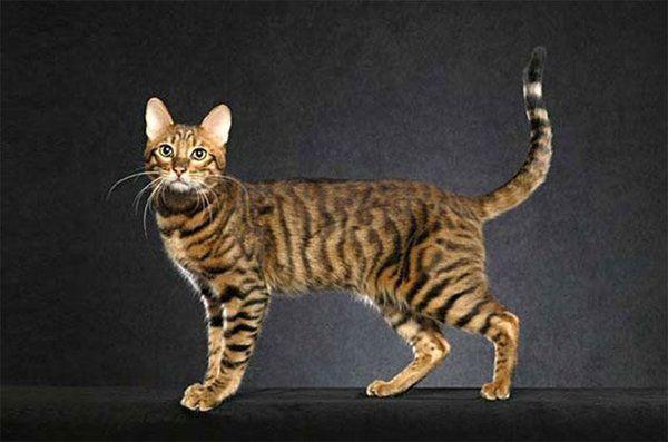 Самые редкие и дорогие кошки планеты (цены и фото) | Мир ...