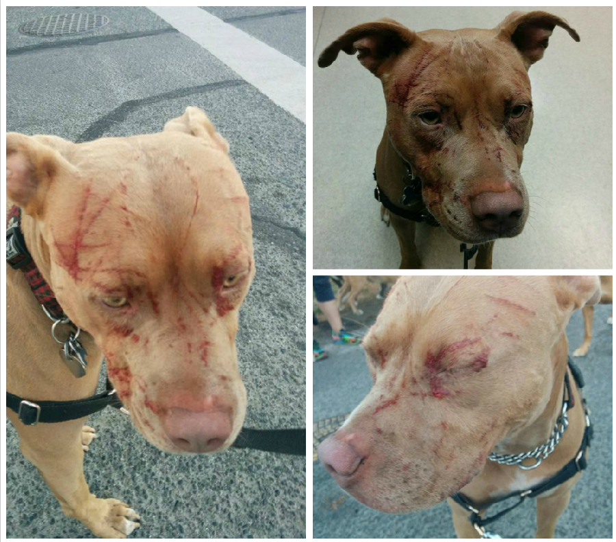 A Cat Viciously Attacked Seven Pit Bulls And A Woman Monday Sending One Of The Cat Attack Fancy Dog Dogs