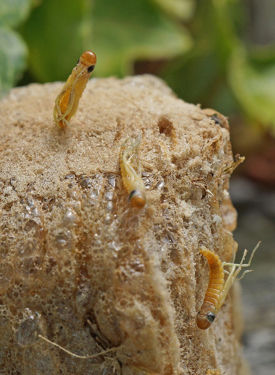 Baby Praying Mantis Emerging From The Ootheca Protective Foam