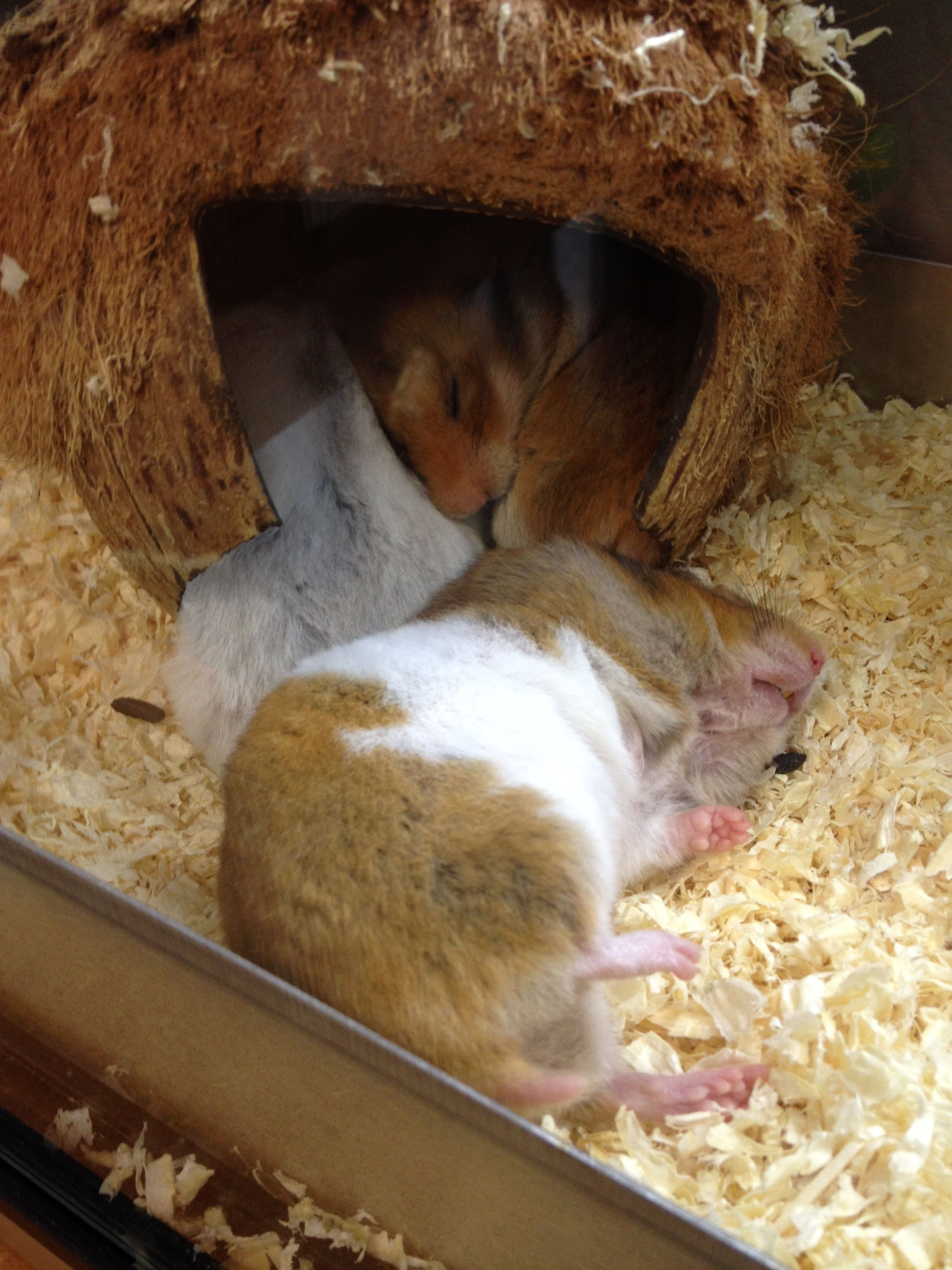 Hamsters Chilling In Pets At Home Aberdeen