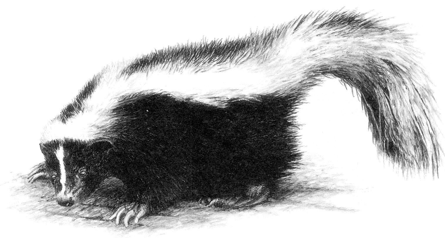 Striped Skunk Drawing Jpg 1 515 215 810 Pixels Outdoors With