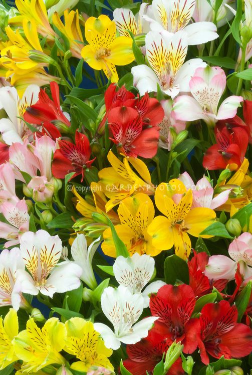 Alstroemeria Mixed Colors Flowers One Of My Favorite Flowers Day 43 Flower Stock Photography Garden Flower Beds Flower Garden
