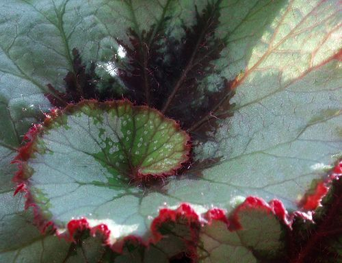 How To Care For Rex Begonias Garden Guides Begonia Plants