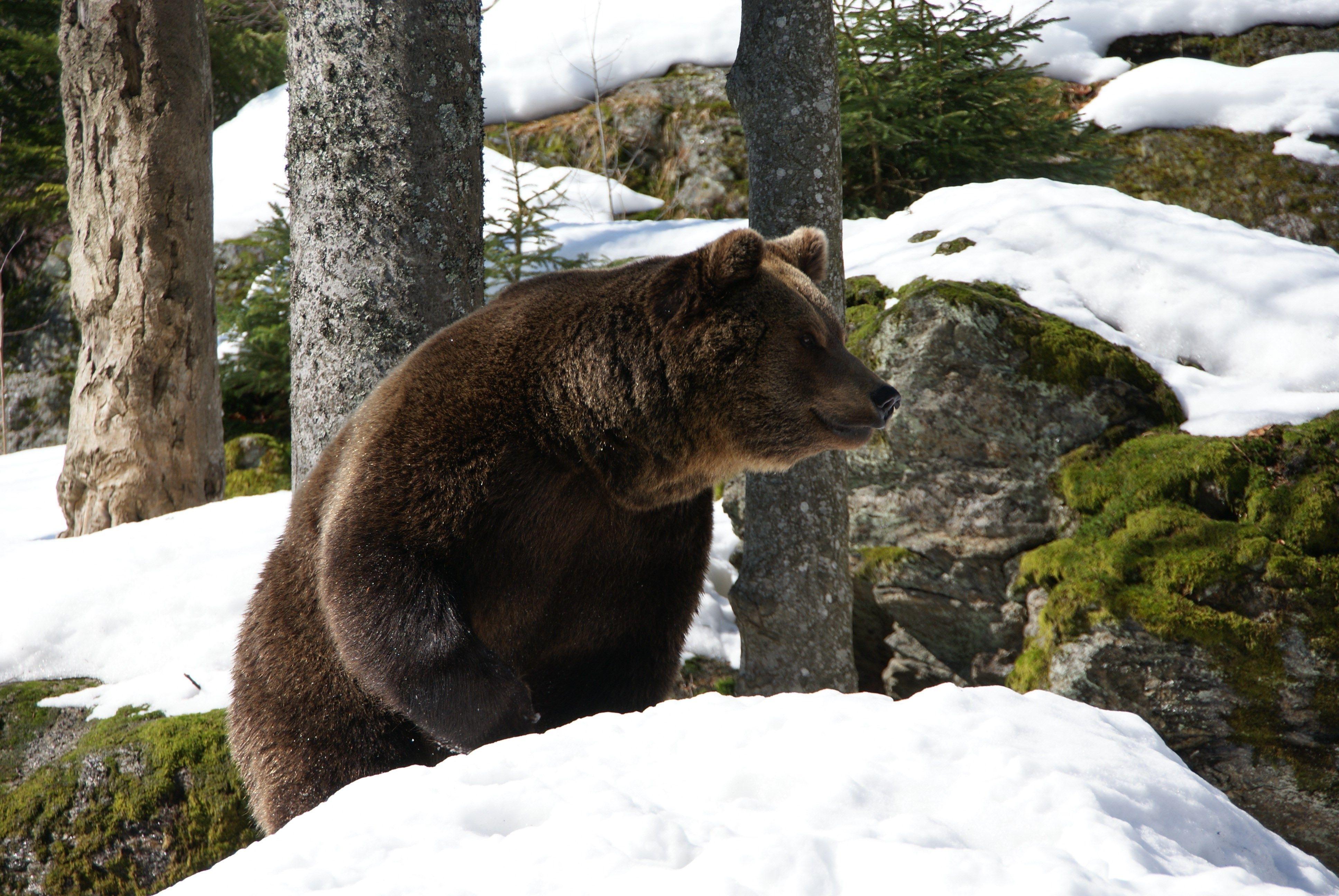 4k wallpaper bear (3872x2592) (с изображениями) Обои с