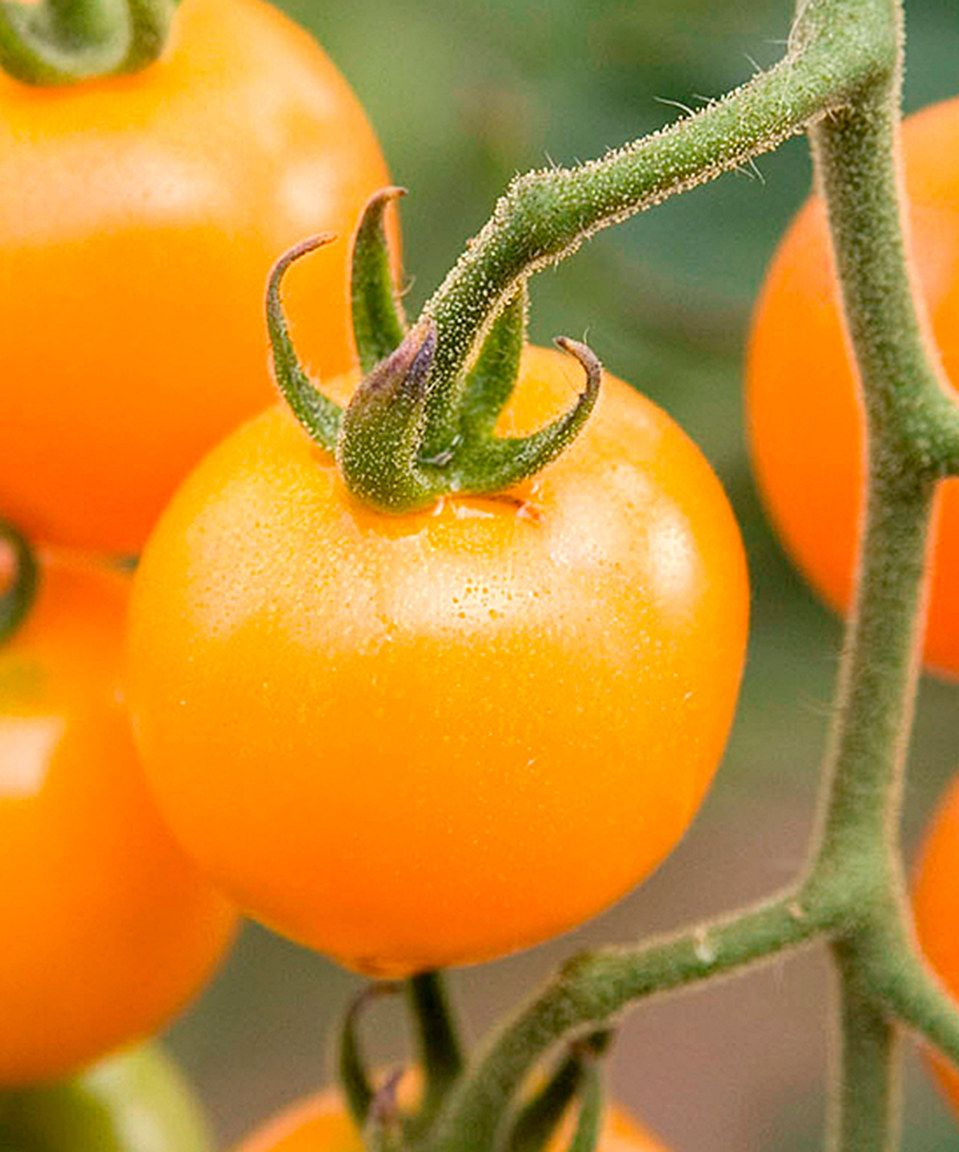 Look what I found on #zulily! Live 'Sunsugar' Tomato Plant by Seedling & Sprout  #zulilyfinds