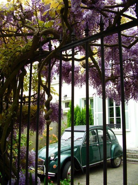 wisteria at the gate