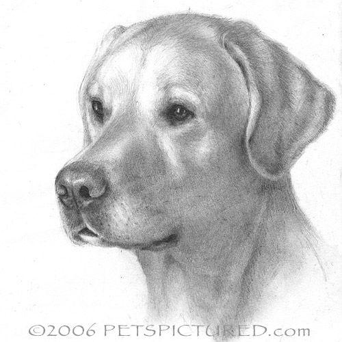How To Draw A Labrador Puppy Step By Step Yellow Labrador Retriever Portrait Original Pencil Drawin Labrador Dog Pictures Yellow Labrador Retriever Dog Art