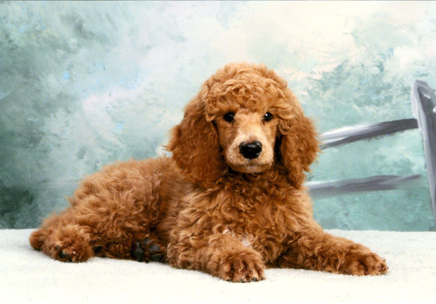 Red Standard Poodle Puppy Nemo Looked Like This With Images