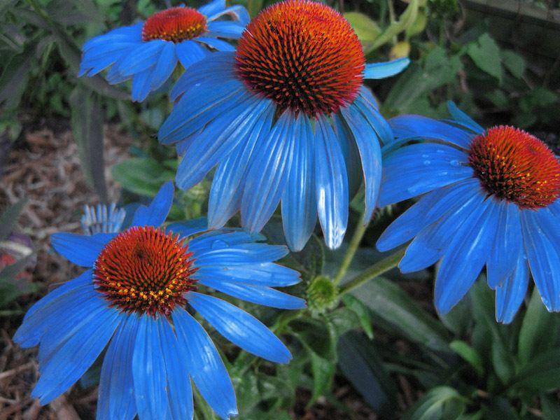 Echinaceas Cubit Buy This Echinacea Blueberry Pie Flowers Perennials Flower Seeds Perennials