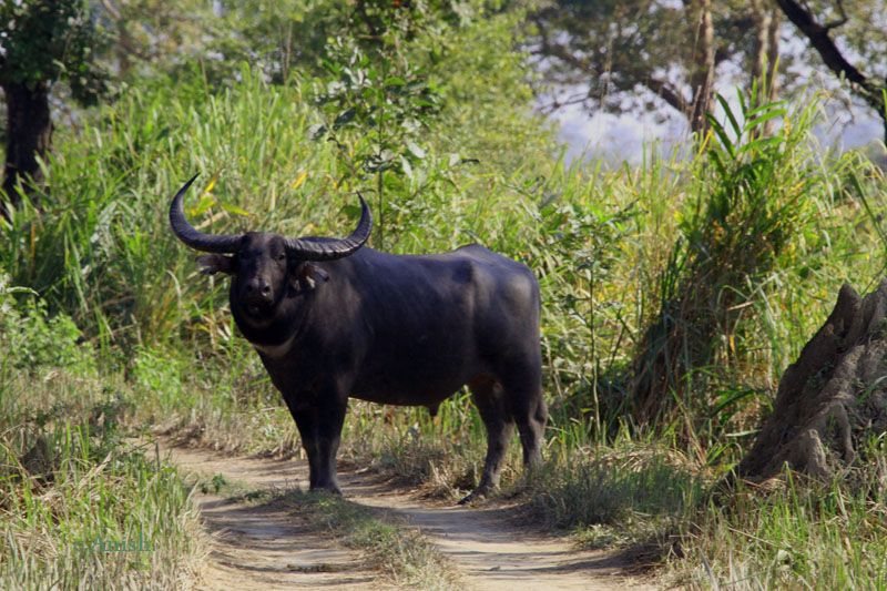 The wild water buffalo (Bubalus arnee), also called Asian