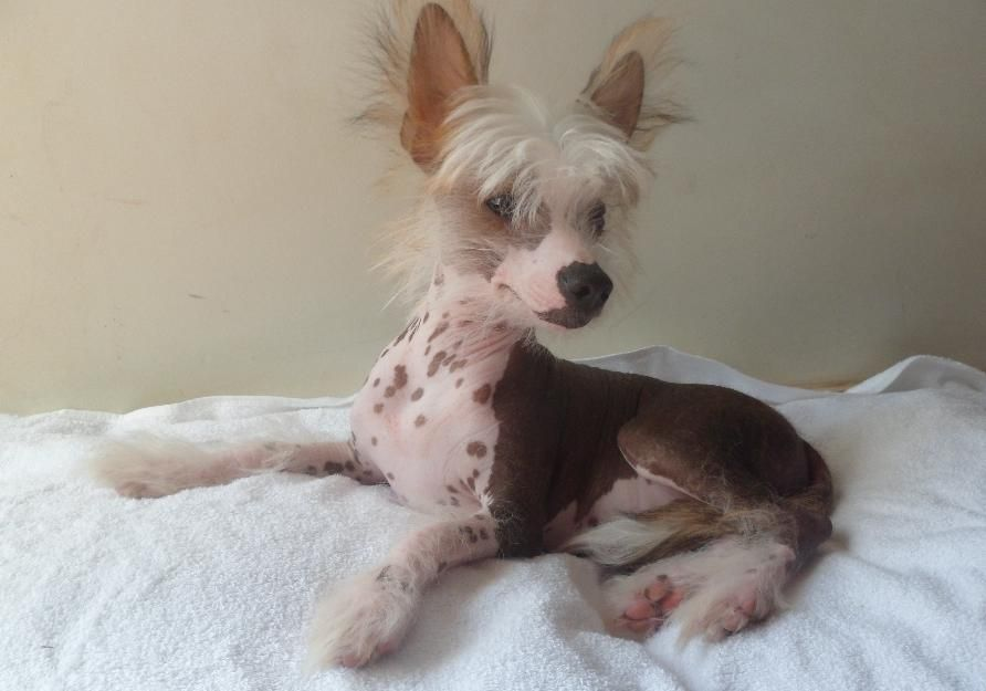 Pug puppy rescue maryland