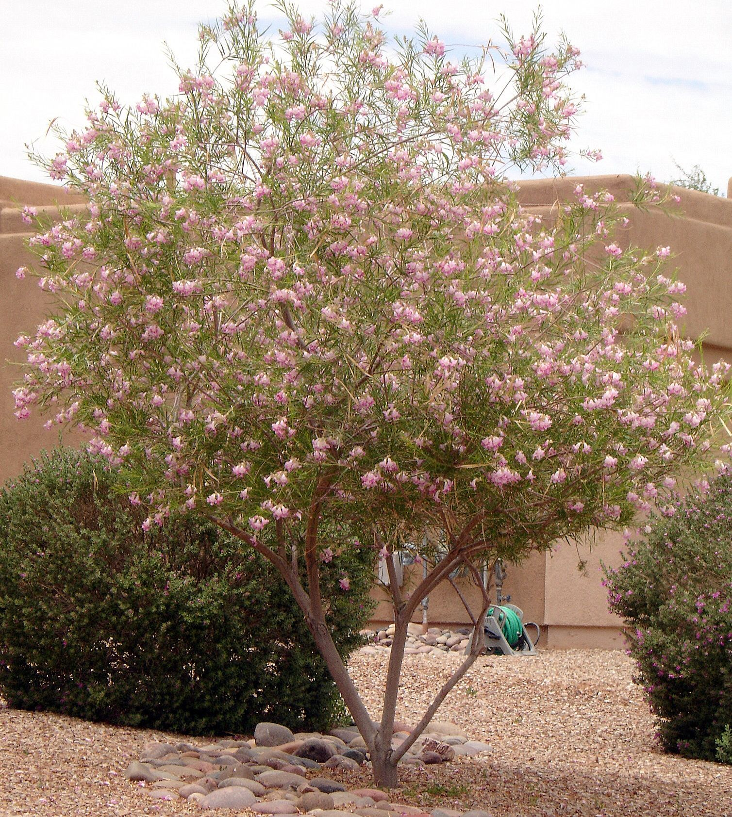 Desert Willow Tree - Horticulture Unlimited   Landscaping ...