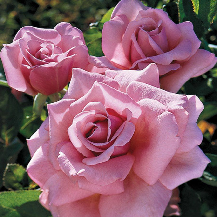 Memorial Day Lavender-Pink Hybrid Tea Rose