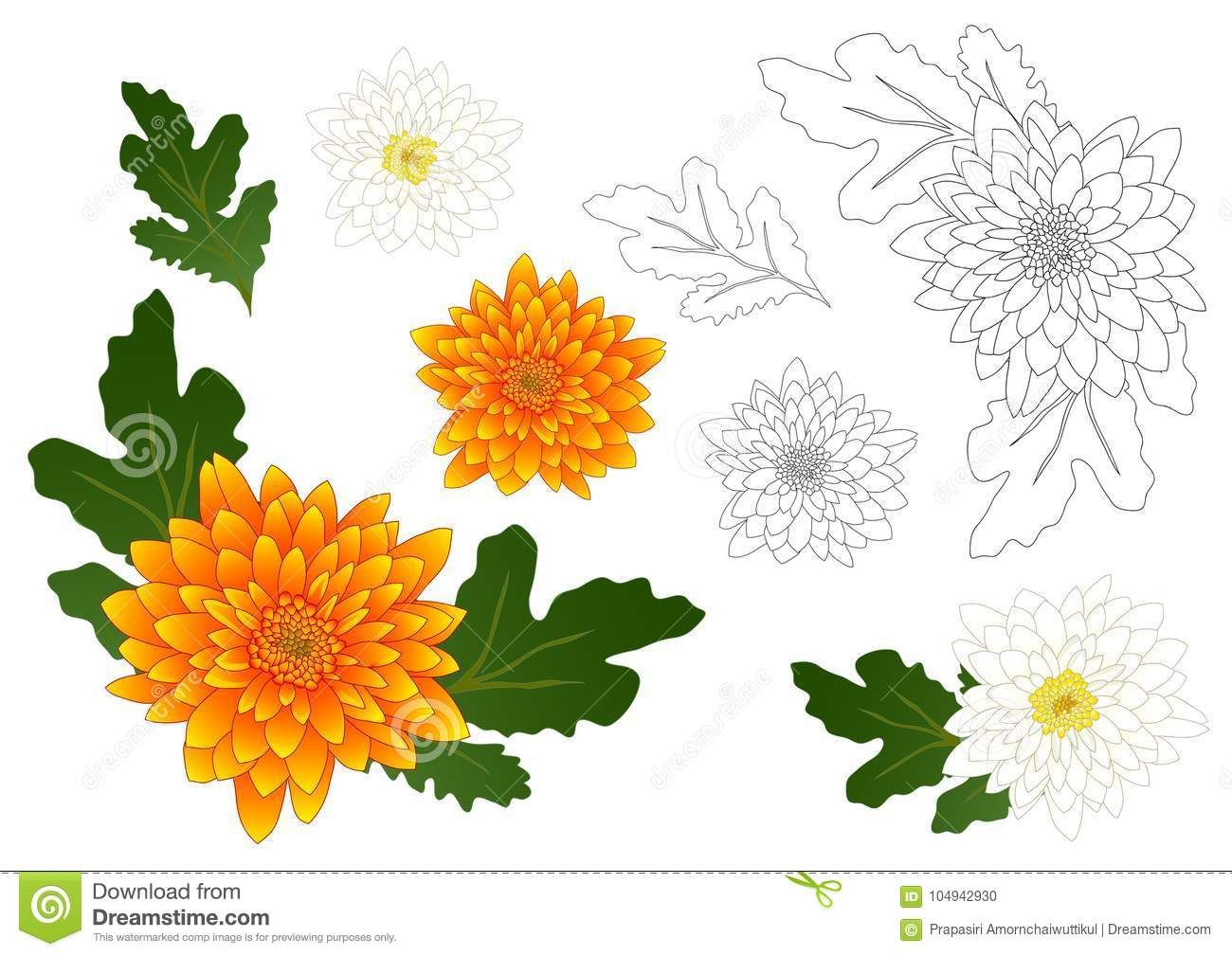 Yellow And White Chrysanthemum Flower Outline Vector Illustration Isolated On White Background Flower Outline Chrysanthemum Flower White Chrysanthemum