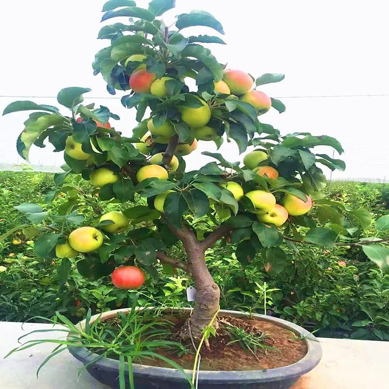 Trial Product Bonsai Apple Tree Seeds 30 Pcs Apple Seeds Used Wet Sand Sprouting Fruit Bonsai Garden In Flower Pots Planters In 2021 Apple Tree From Seed Trees To Plant Tree Seeds