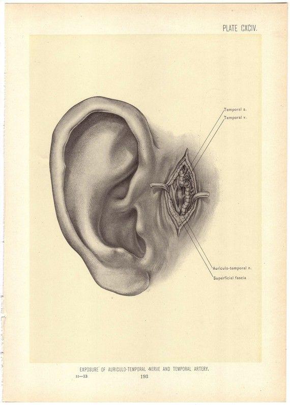 Pin de natizon en DRAW EARS | Pinterest | Anatomía, Artes visuales y ...