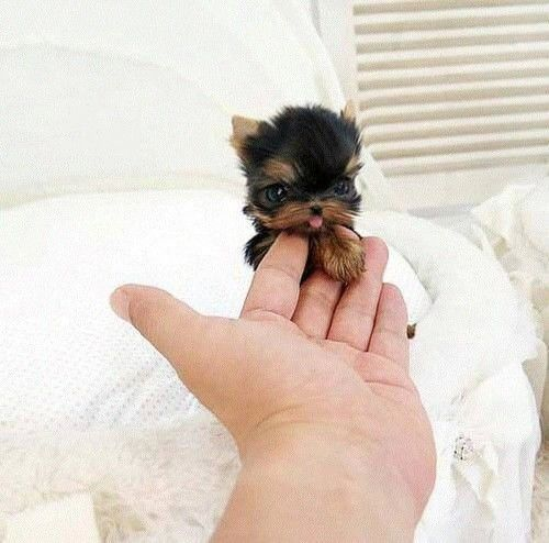 Give me a high five! ⋆ It's a Yorkie Life