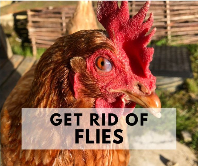 How to get rid of flies in your chicken coop, Naturally ...