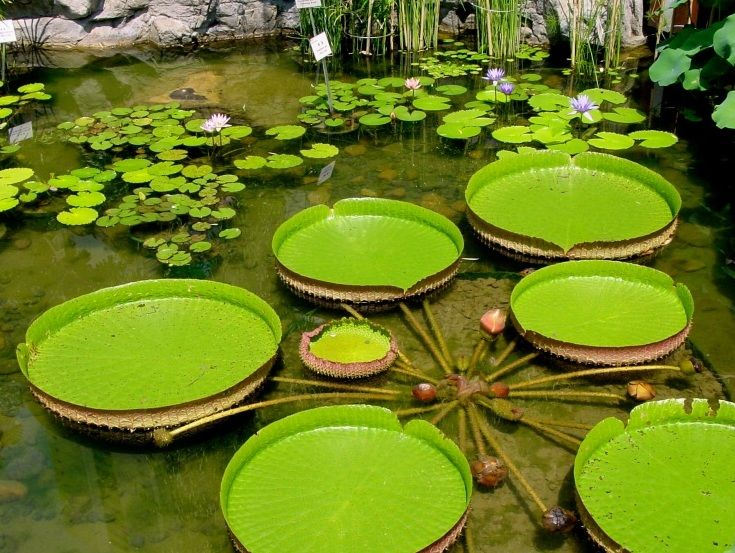 How do lily pads grow?