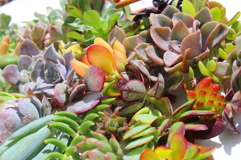 15 Succulent Cuttings Succulent Clippings Succulent Plants Etsy In 2020 Wholesale Succulents Succulent Cuttings Colorful Succulents