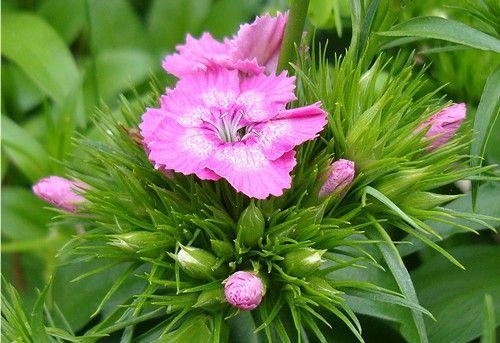 Fou u, in this rainy day, Dianthus barbatus.http://www.lefunkymamas.com/il-giardino-di-paola-un-garofano-si-ma-quello-dei-poeti/