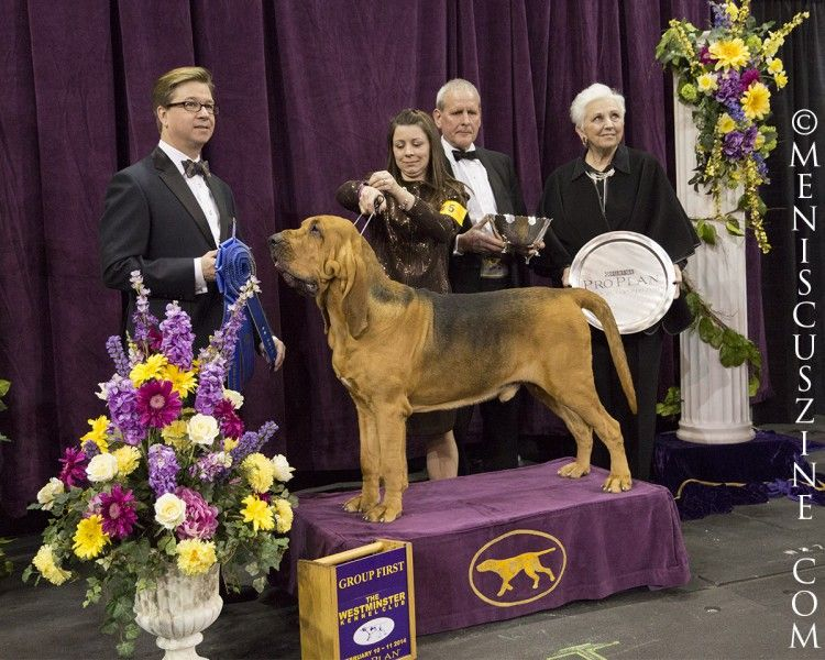 Westminster Dog Show 2014 Best Of Hound Group Dog Show Winner