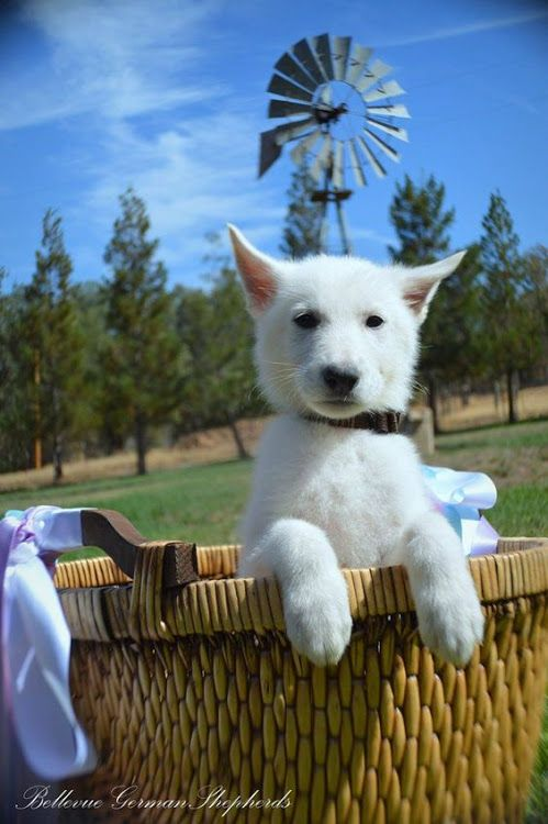 White German Shepherd German Shepherds are medium to large sized #0: bf0d cc843ba1f64baf8af416e58