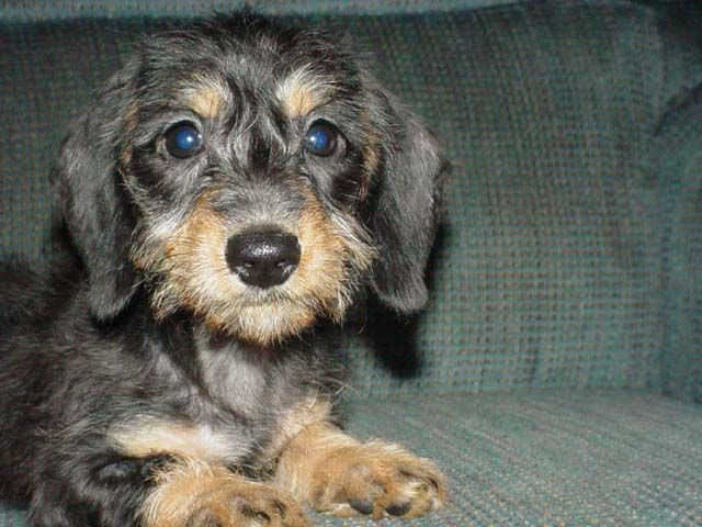 wire haired dachshund | Winbornecreek Wirehaired ...