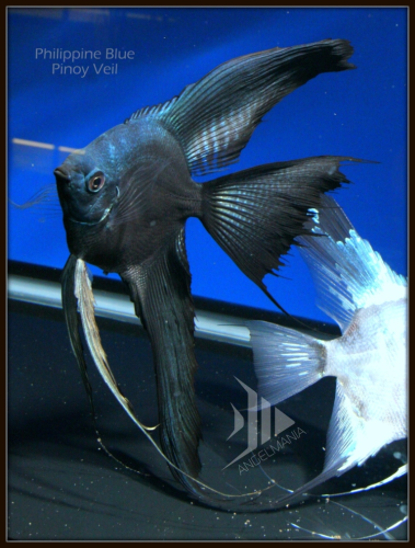 Blue Pinoy Veil Widefin Angelfish Angel Fish Fish Tropical Fish Aquarium
