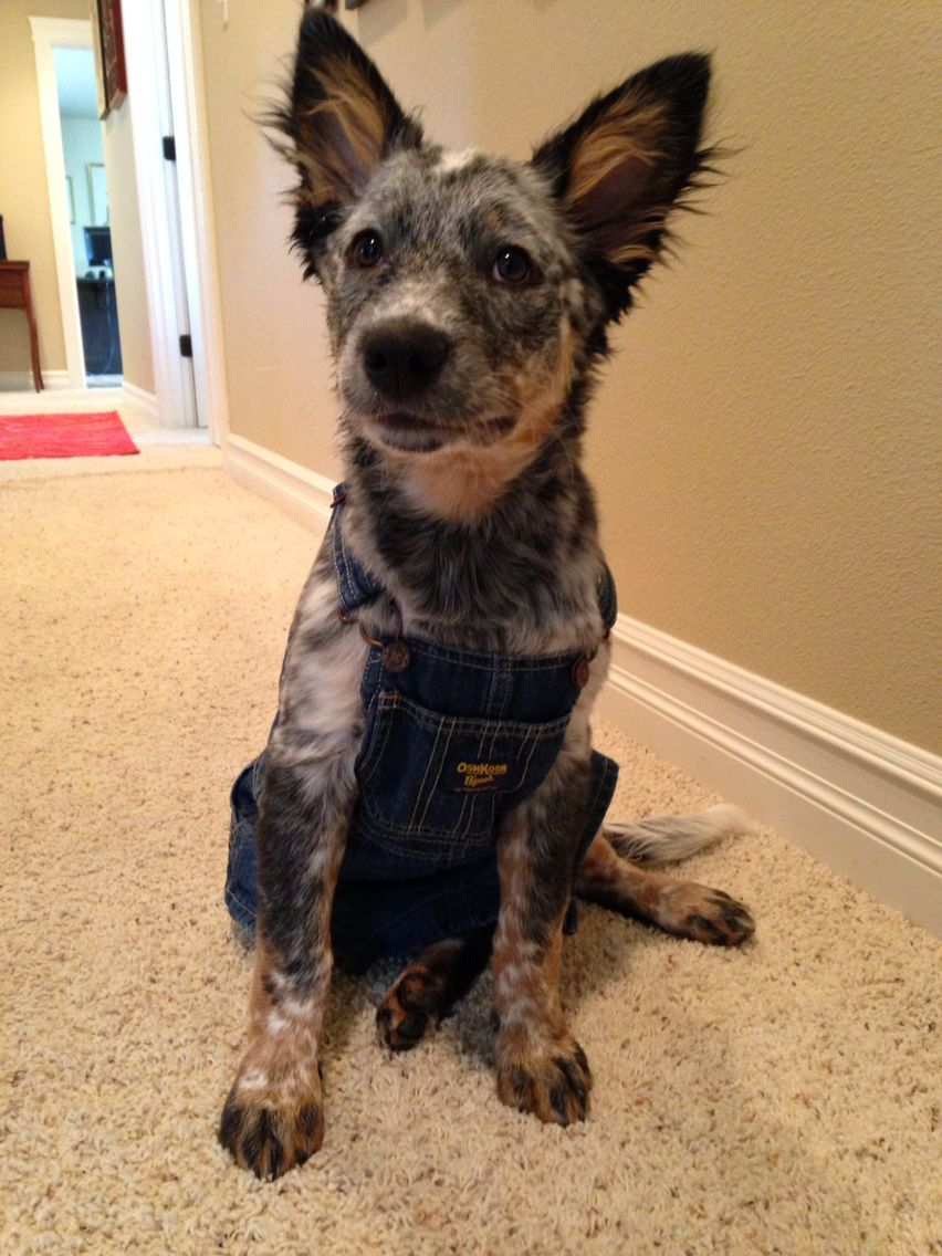 Blue Heeler Puppy Australian Cattle Dog Puppy Blue Heeler