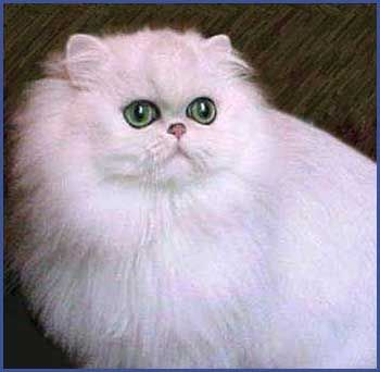Gatos Dalee Plata Oro Persas Persian Cat Persian Cats For Sale Persian Kittens