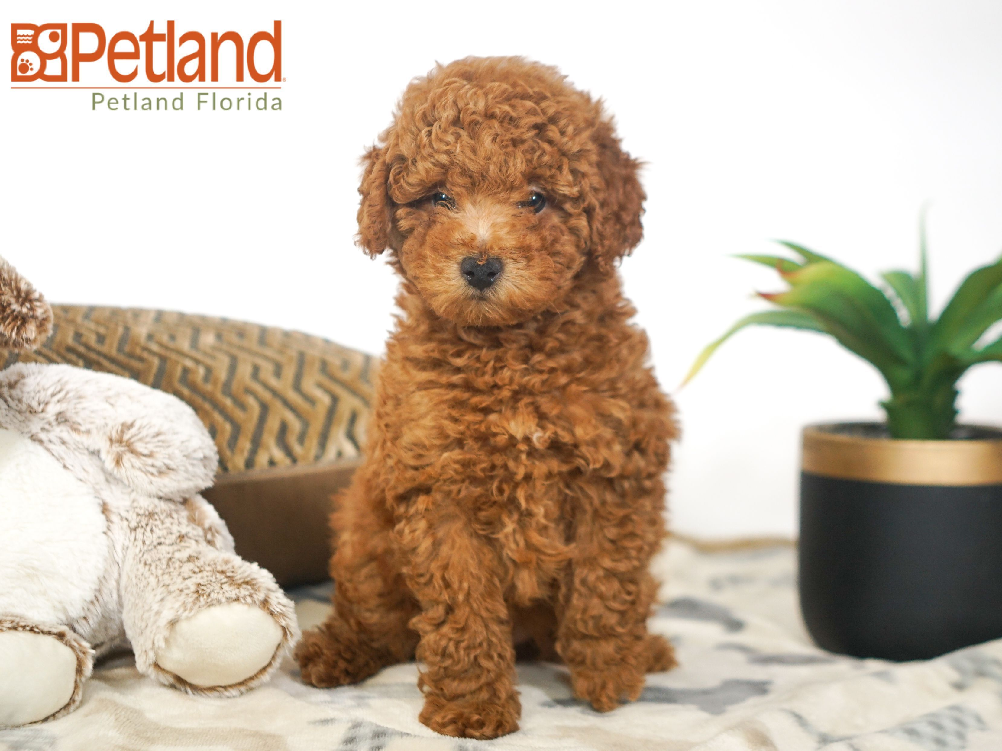 Puppies For Sale Puppy Friends Poodle Puppy