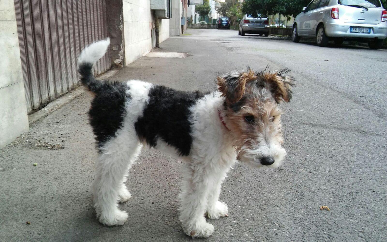 Pin von simonetta gadaleta auf our wire fox terriers | Pinterest
